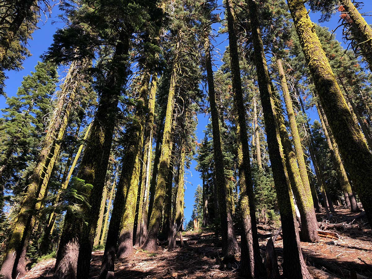 Beautiful tall pine trees in the forest at Greenhorn Ranch