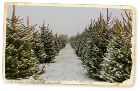 Christmas Trees at Greenhorn Ranch