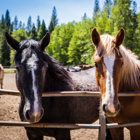 Two horses at the Greenhorn Ranch in Quincy California