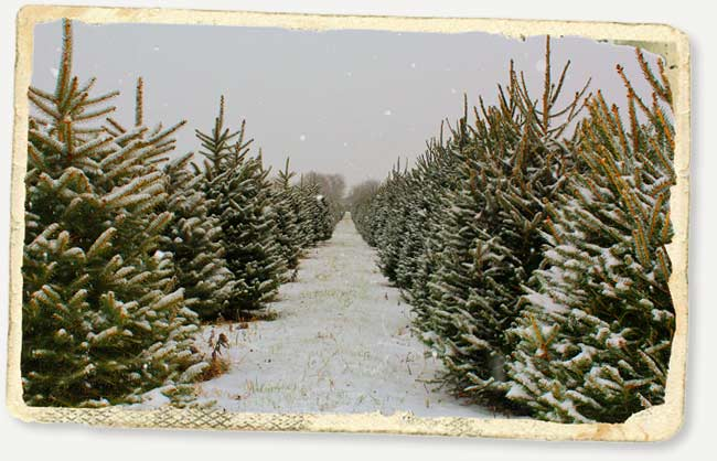 Christmas trees at Greenhorn Ranch