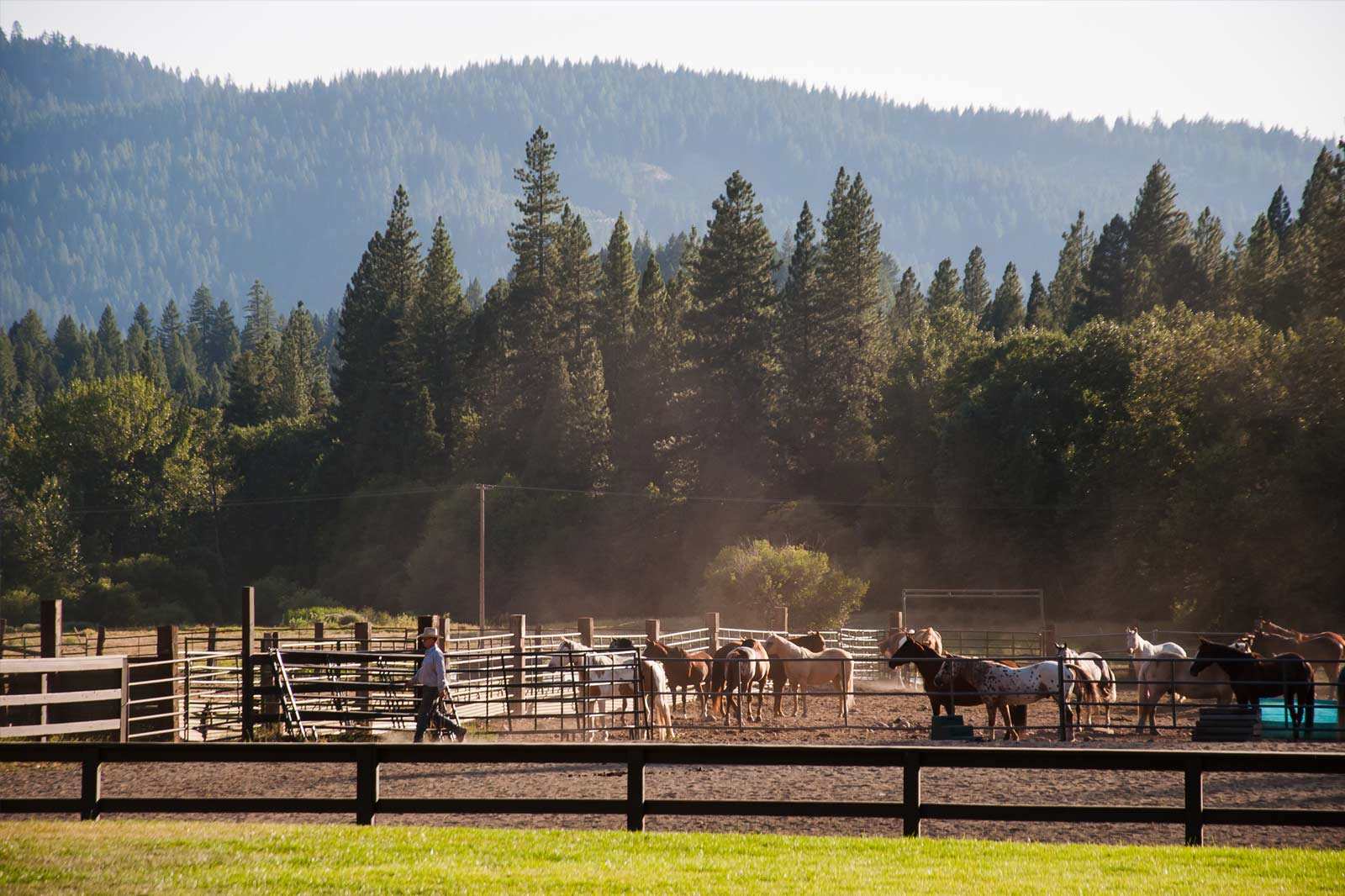Horses in the corral in front of the tall pines at Greenhorn Ranch