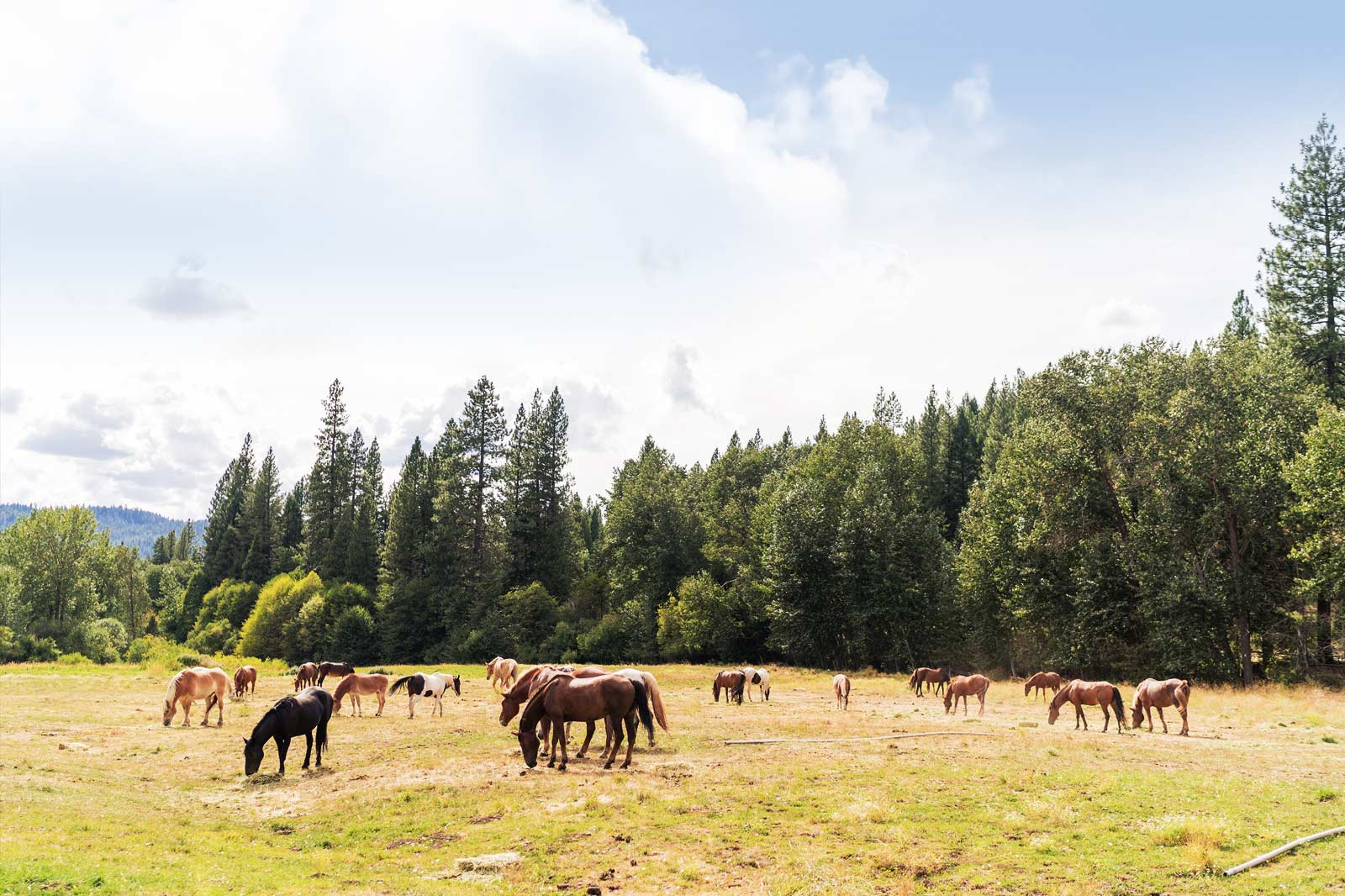 Horses grazing on grass at Greenhorn Ranch