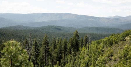 A scenic view of pine trees in front with the Sierra forest in the background